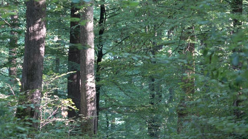Forest. Transcarpathia   Shutterstock HD Video #29501134