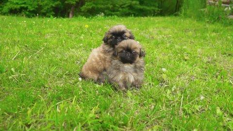 Pekingese puppy sitting on green grass