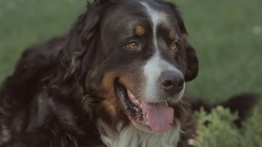 The dog lies on the grass. Bernese Mountain Dog rests in the park. Mountain Dog lying on grass. The head of the Bernese Mountain Dog lying on the green grass it has white strip on his head  #29525542