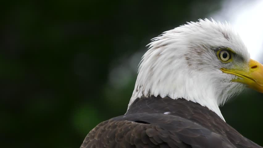 bald eagle looks behind himself #29541268