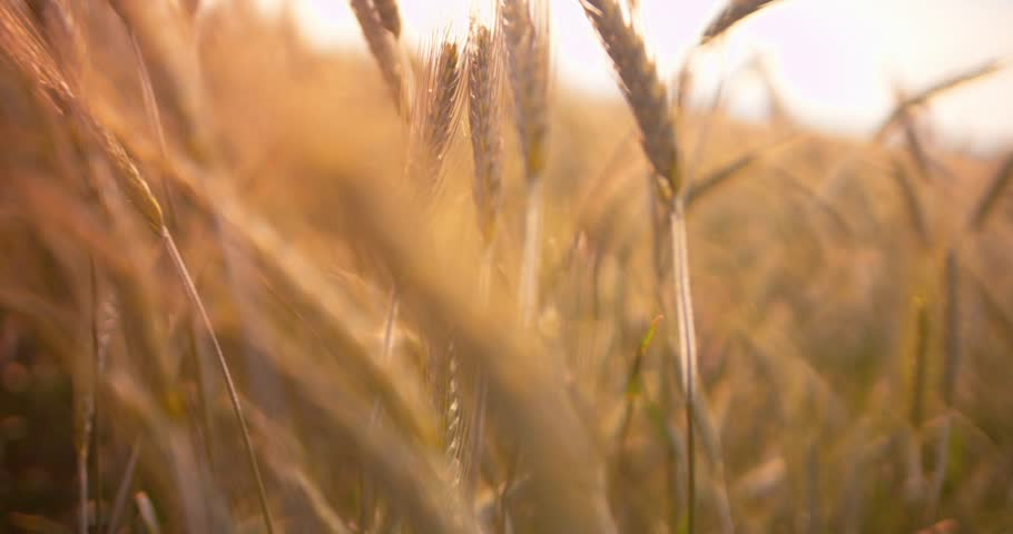 Close up of yellow barley plants in a wheat field at sunset Royalty-Free Stock Footage #29550922