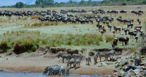 Burchells Zebras Drinking; Maasai Mara Kenya Africa