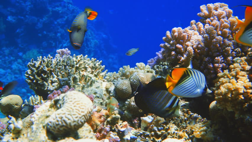 Colorful Fish on Vibrant Coral Reef, Red sea   Shutterstock HD Video #29564350