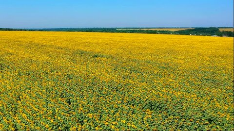 Panoramic aerial view of sunflower field. Summer hot day and blue sky landscape.