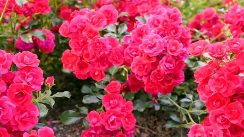 Flowering Bed Of Roses Rosa