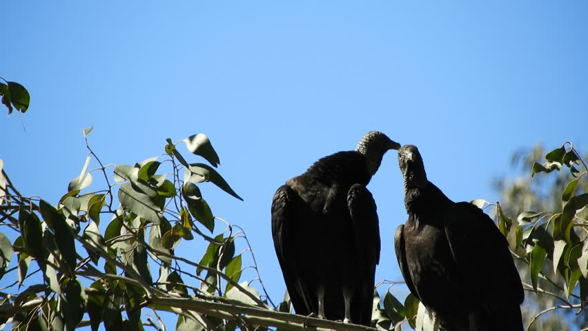 Header of American Vultures