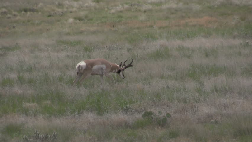 Pronghorn Antelope Buck on the Prairie #29636032