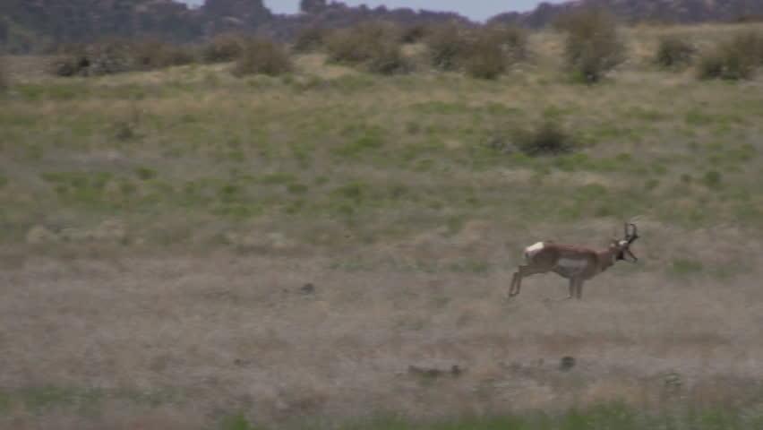 Pronghorn Antelope Buck on the Prairie #29636035