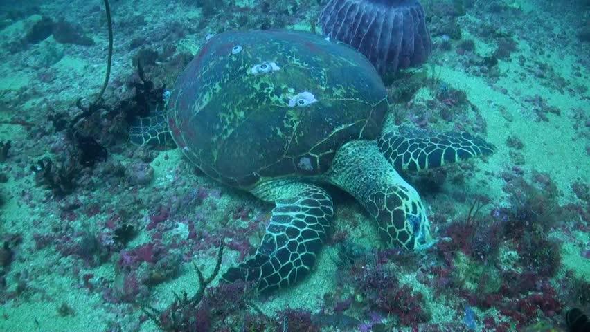 Hawksbill Turtle Feeding On Bottom - Medium Shot | Shutterstock HD Video #29640913