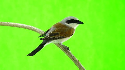 Red-backed Shrike (Lanius collurio) isolated on a green background in studio shot