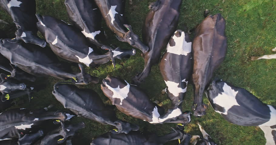 Aerial: Herd of cows cows grazing on green farmland in Auckland, New Zealand