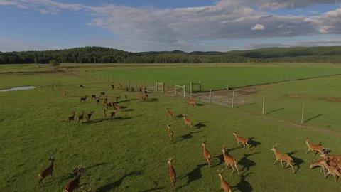 aerial reindeer running in a group below