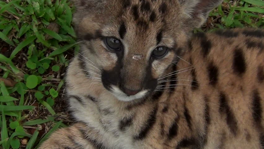 The Cougar (Puma concolor) Cub, also commonly known as the Mountain Lion, Puma, Panther, or Catamount.