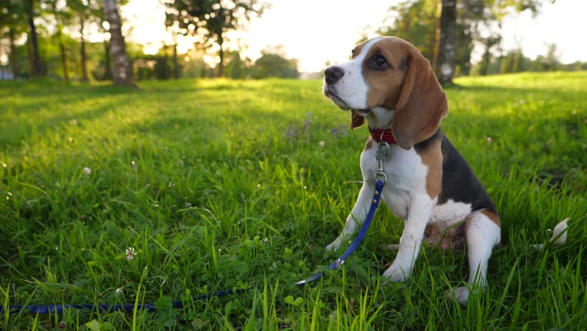 Pretty young beagle dog sit on grass, look upwards then stand and come to owner. Slow motion shot, charming evening sunlight on background, illuminate green park area. Cute domestic animal portrait