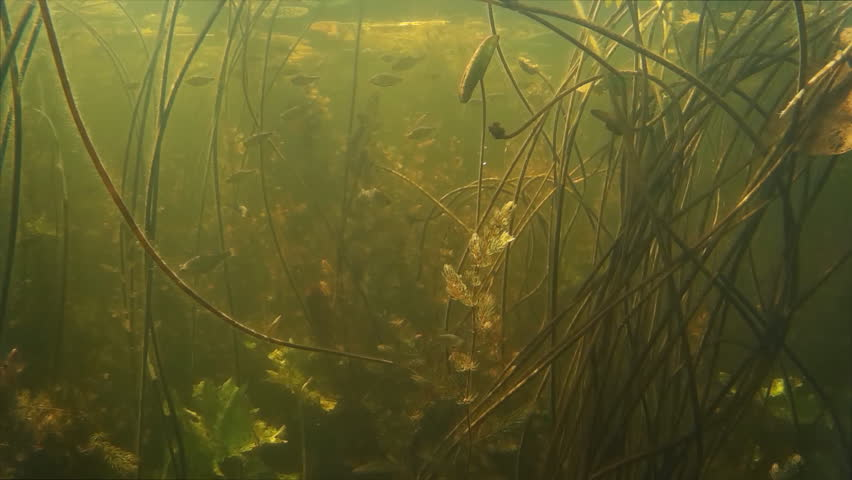 Shoal of small freshwater fish under water.