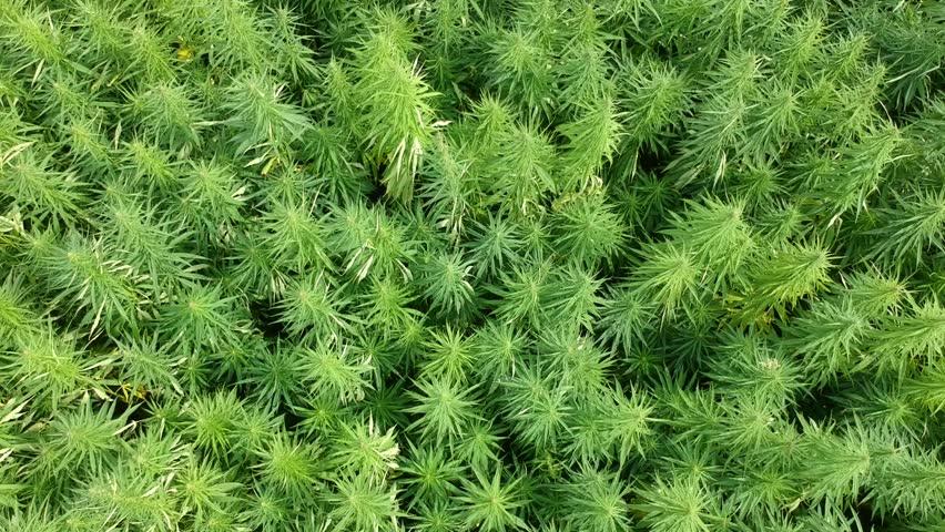 Aerial: Enormous Hemp Marijuana Field by Ascending drone