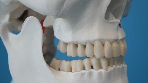 Detail of teeth and jawbone of medical skeleton's skull. Handheld shot.