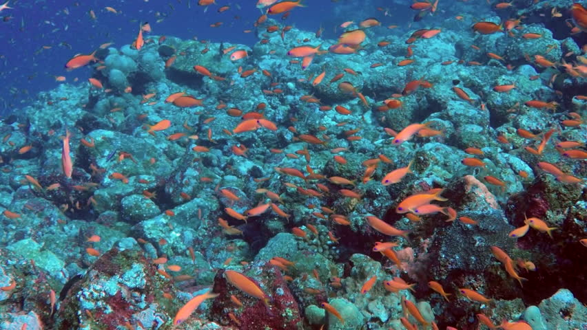 Anthias and other tropical fish swimming over coral reef, slow motion view | Shutterstock HD Video #29976628