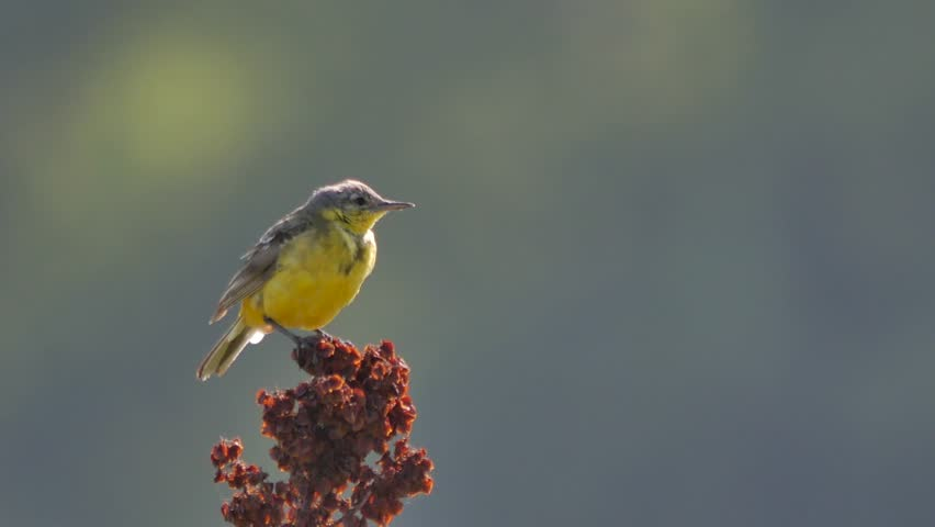 Small yellow wagtail sitting on the branch (Motacilla flava). | Shutterstock HD Video #29997334