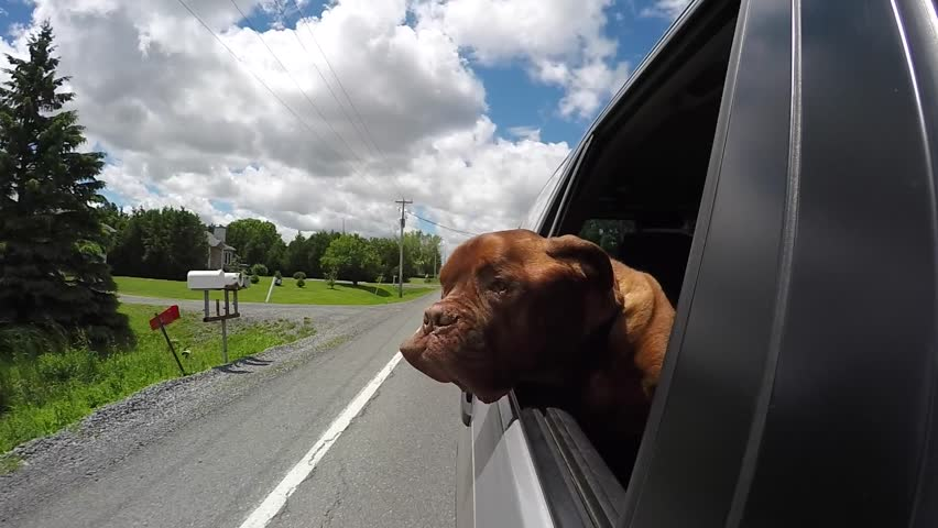 dog with wind in his face hilarious car ride #30041599