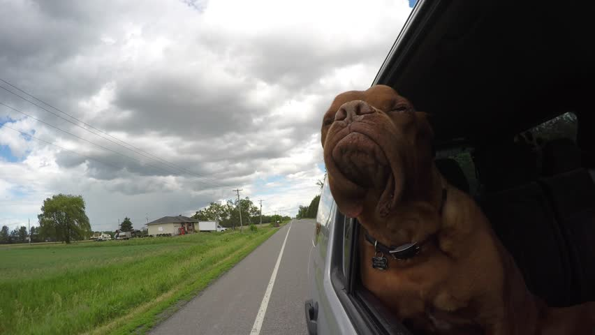 Adventurous french mastiff jowls flapping car ride