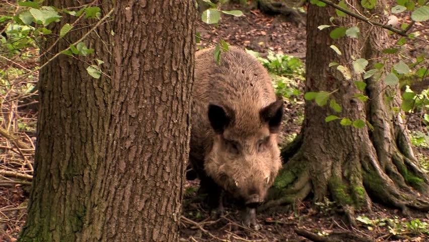Wild boar tusker - wildlife