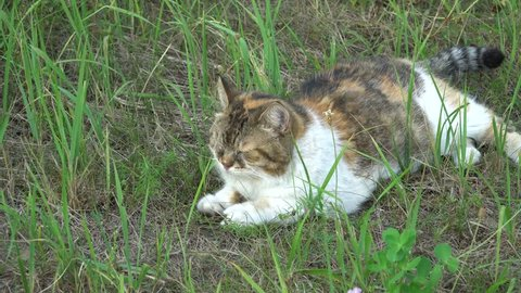 A three-coloured cat lying in the grass and napping