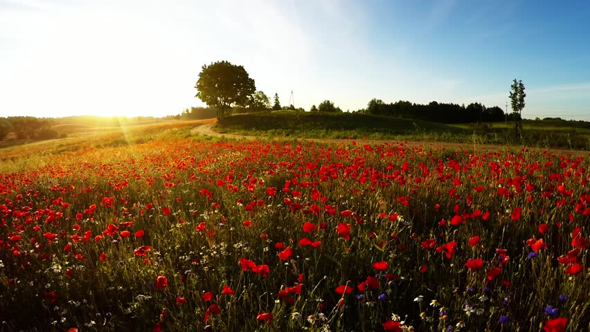 Poppy field at sunrise - aerial view | Shutterstock HD Video #30069625