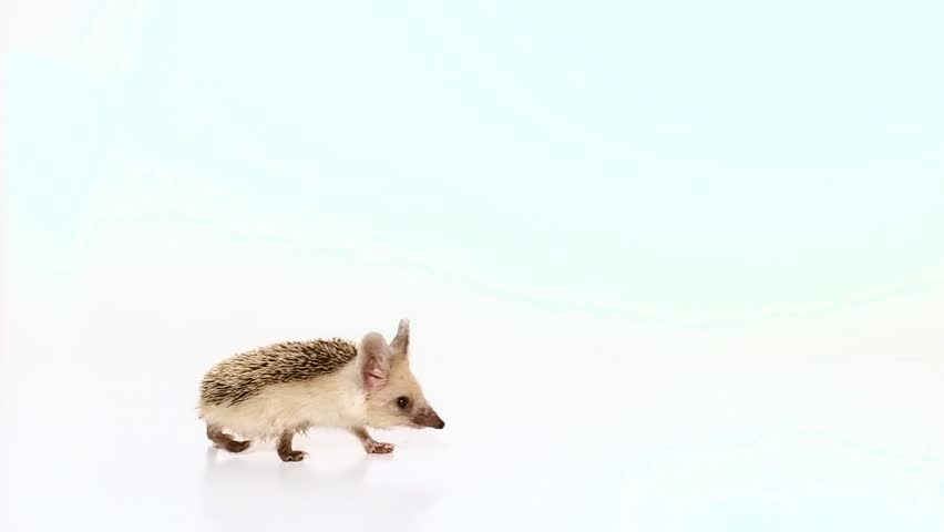 Little long-haired hedgehog (lat. Hemiechinus auritus) moves in the foreground isolated on white background. | Shutterstock HD Video #30082627