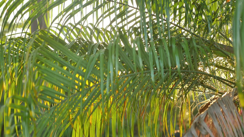 High quality video of palm leaves in 4K  | Shutterstock HD Video #30092029