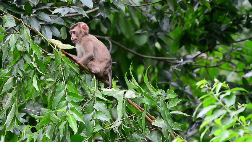 Relationship of monkey family, Northern pig-tailed macaque (Macaca leonine), Khao Yai national park, Thailand. Naughty young monkey jumping on tree. | Shutterstock HD Video #30094861