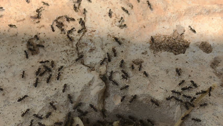 Ants running to their anthill