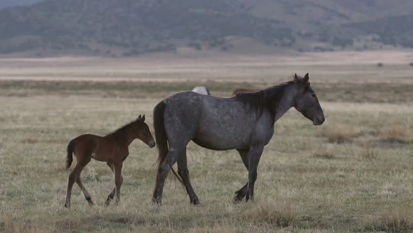 Mother horse walks through pasture as foal follows along side in herd. #30102460