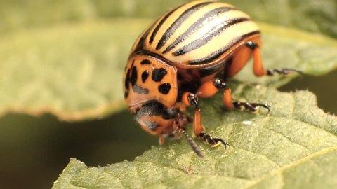Colorado potato beetle eats potato leaves, close-up
