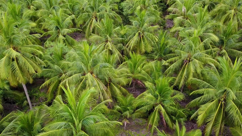 4k aerial view shot agriculture coconut farm | Shutterstock HD Video #30182857