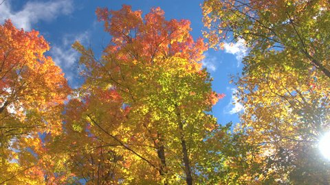 LOW ANGLE VIEW: Warm autumn sun shining through colorful foliage treetops on beautiful sunny day. Sunbeams peaking through colorful tall tree branches in vibrant autumn forest. Gorgeous fall foliage.