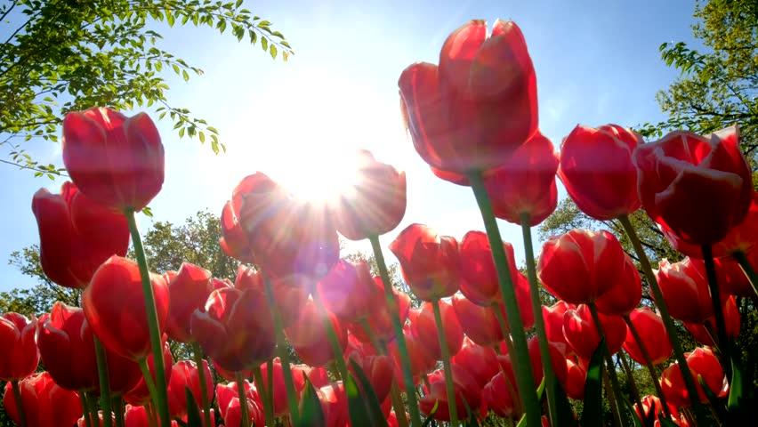 Blooming red tulips against blue sky background with sun. Keukenhof flower garden, one of the world's largest flower gardens. Lisse, the Netherlands. #30204295