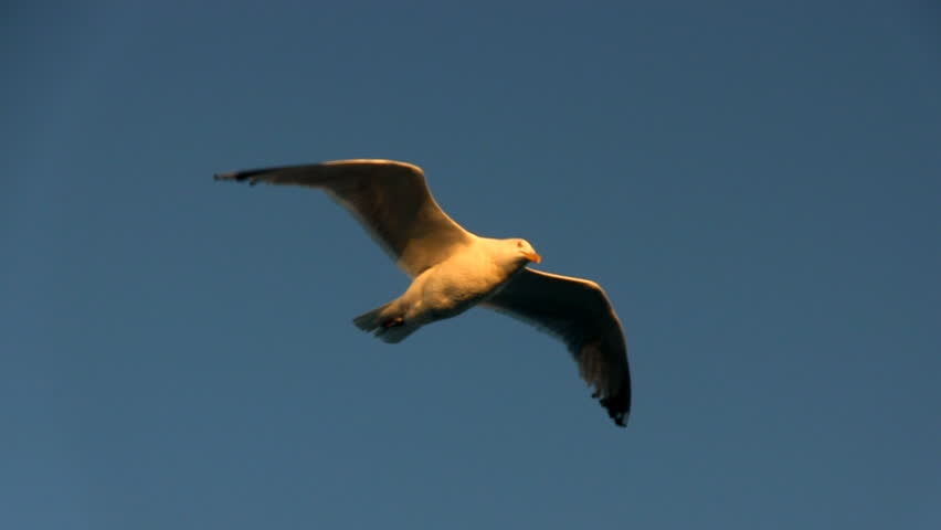 A seagull hovers over back deck of ferry boat against blue sky in late afternoon riding wind currents in search of food from passengers.      Shutterstock HD Video #3025078