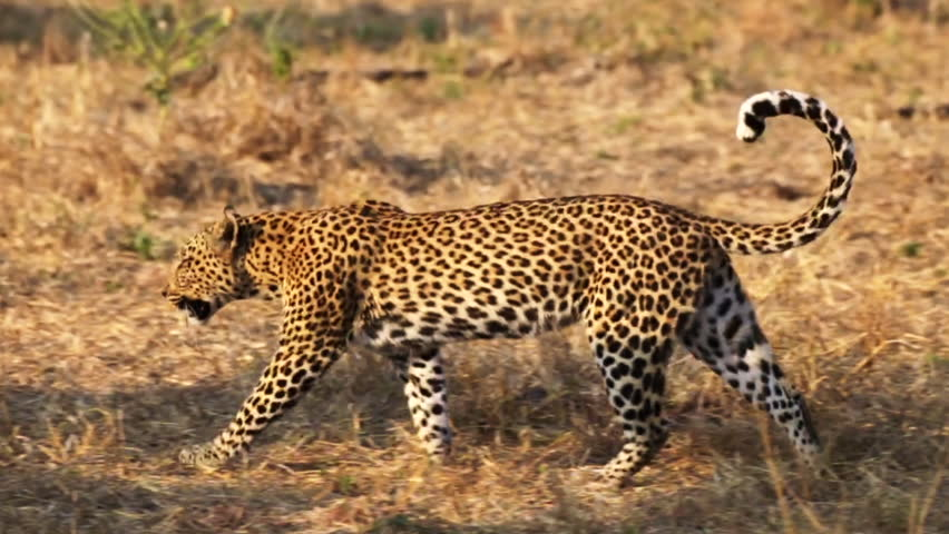 A female leopard walks with her tail curled at the Moremi Game Reserve in Botswana, Africa. Royalty-Free Stock Footage #30261376