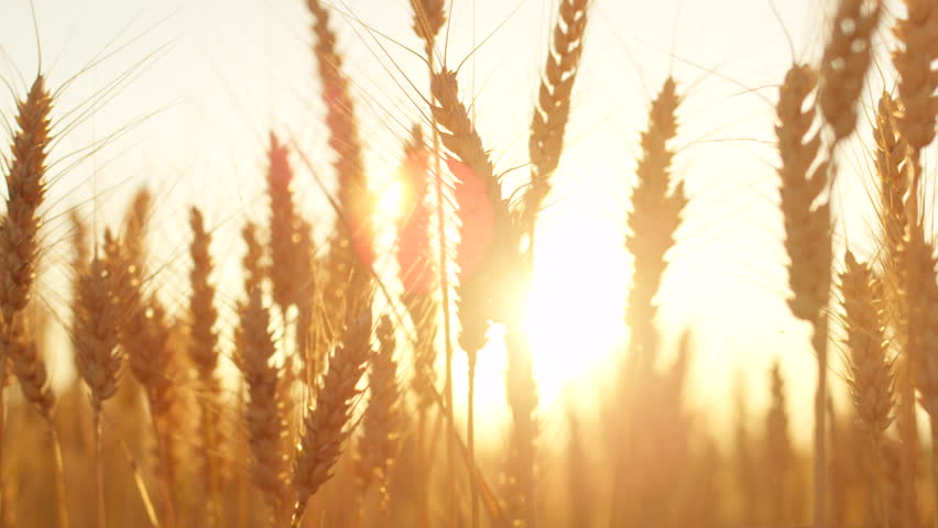 SLOW MOTION CLOSE UP DOF LENS FLARE Golden sun setting behind vast yellow wheat field on sunny evening in Tuscany, Italy. Ripe wheat crops on vast farmland in idyllic countryside lit by summer sunrays #30261673