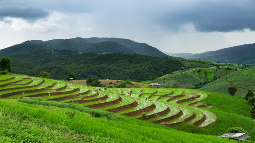 4K Time-lapse : Rice field terrace in organic system at Ban Pa Pong Pieng village, Chaingmai province Thailand. | Shutterstock HD Video #30291520