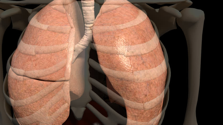 A visualisation of the pulmonary system of the body at work displaying the expansion and deflation of the lungs and rib cage during breathing