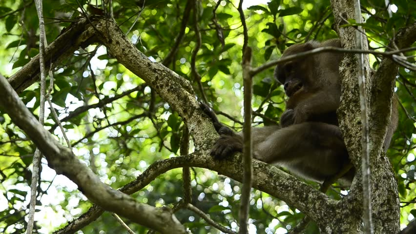 The life of Assam macaque | Shutterstock HD Video #30359152