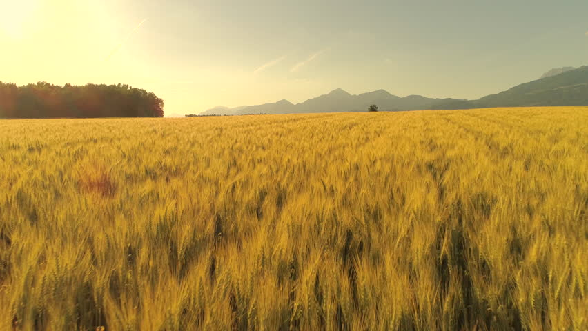 AERIAL: Flying above stunning yellow wheat field swaying in wind on country farmland at sunset. Crop plants swinging in summer breeze at golden sunrise. Rocky mountains in scenic countryside, Slovenia #30394600