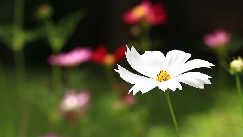 White cosmos flower on blurred cosmos field #30406915
