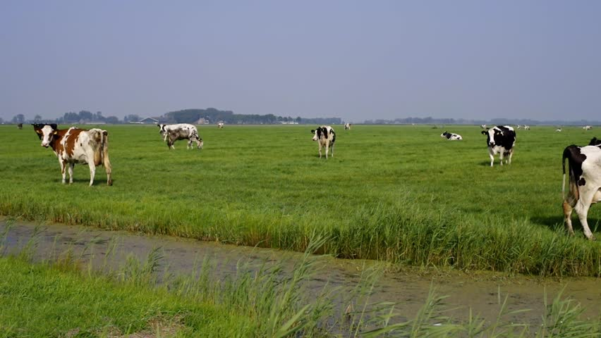 Typical Dutch landscape with cows (Holstein Friesian cattle) and ditch.