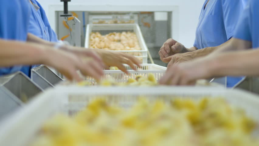 Cute chicks at a poultry farm, poultry conveyor. Workers at poultry sorting baby chicken.