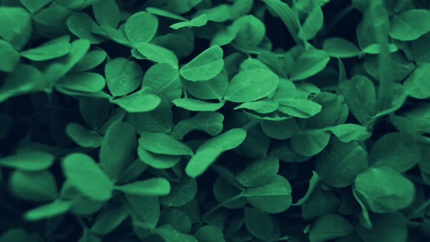 The petals of the green clover are moving under the gusts of the wind.  #30432853