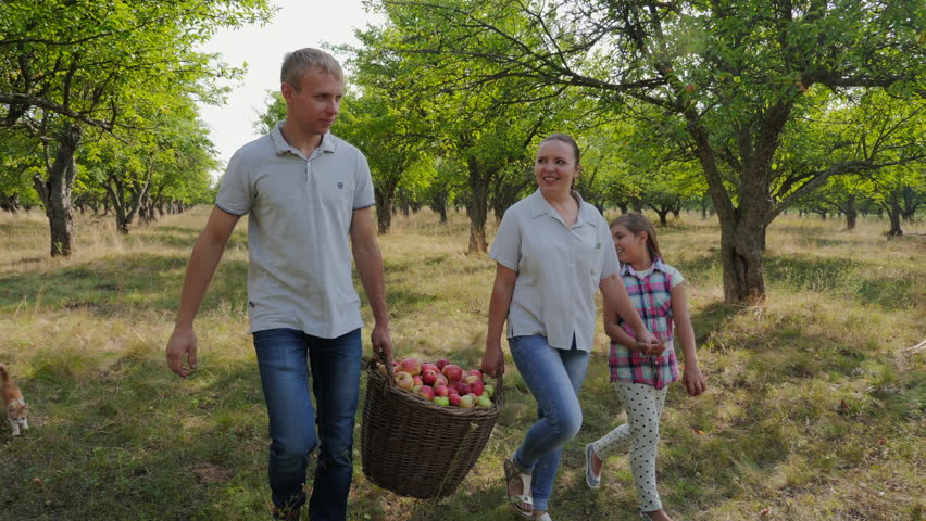 Young family picking apples in the apple orchard. A man and a woman are carrying a full basket of apples, a young daughter is holding her mother's hand.