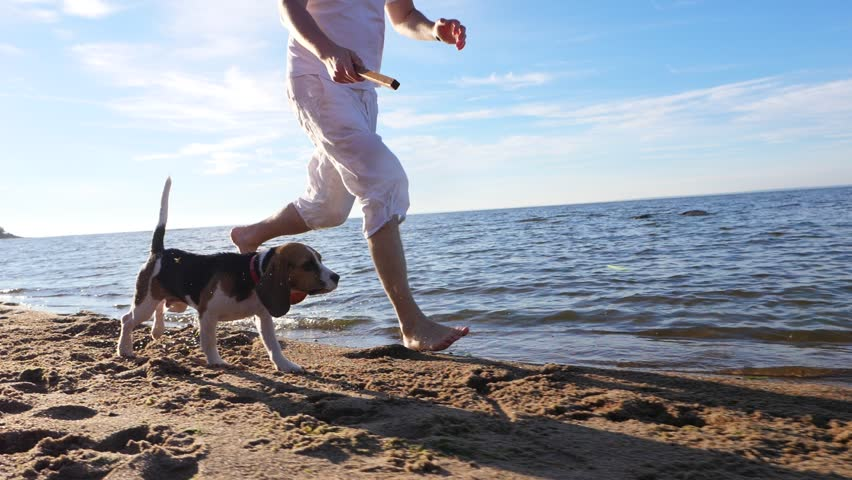 Man run with cute young beagle on beach, toss stick, dog rush forward, slow motion tracking shot. Guy play fetch game with small dog at sunny shore of lake. Long funny ears of puppy fly in air